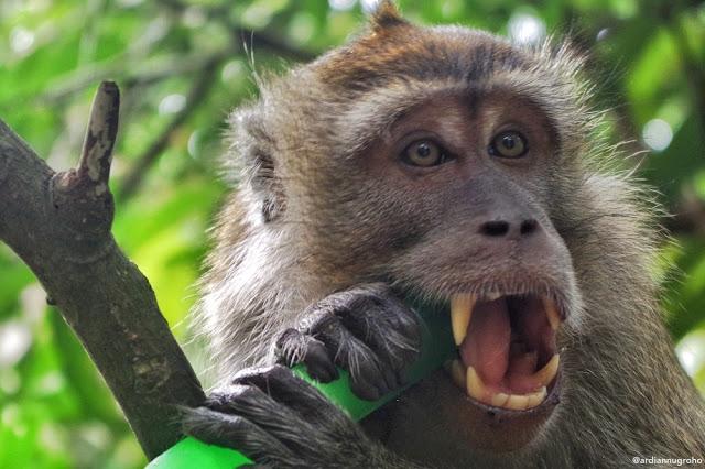 Monyet di pulau kembang